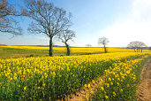 Rape Fields, Heathfield Farm - Isle of Wight - Pictures courtesy of Wightphotobreaks.co.uk