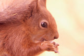 red squirrels on the isle of wight - Picture courtesy of Wightphotobreaks.co.uk